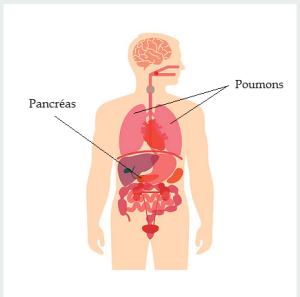 Poumons et pancréas